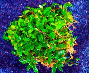 Bucephalandra Tanaman Air Aquascape