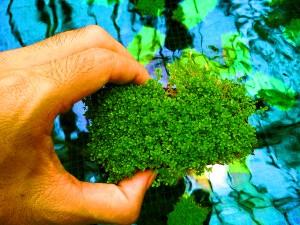 Cuba Karpet Tanaman Air - Aquascape Hemianthus Cuba