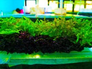 Moss Lempeng Mini Christmas Aquascape Murah Segar