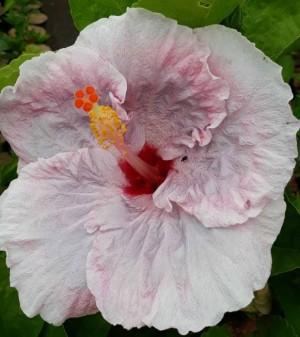 Jual Tanaman Hias Bunga Sepatu Pink Tissue Kota Batu Callysta Garden Tokopedia