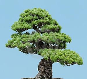 Benih Biji Mugo Pine Bonsai Import