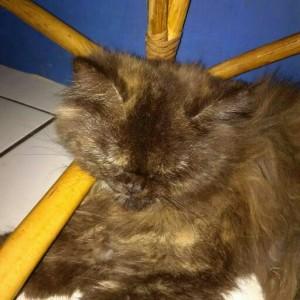 Unduh 61+  Gambar Kucing Persia Warna Hitam Paling Imut HD