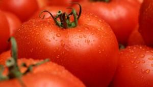 biji/benih/bibit buah tomat money maker