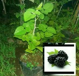 bibit buah blackberry perdu