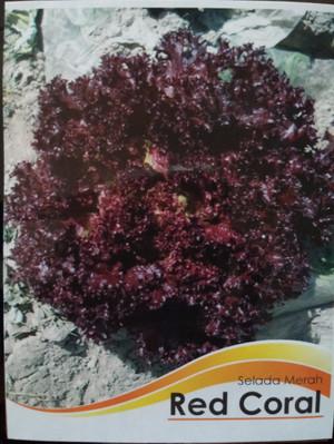 Benih Red Coral / Selada Keriting Merah / Lettuce ( New day Seed )
