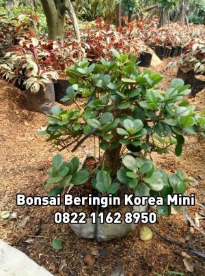 Jual Bonsai Beringin Korea Mini Kab Bogor Hijau Taman Tokopedia