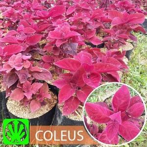 Tanaman Red Coleus