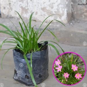 Tanaman Zephyranthes Pink