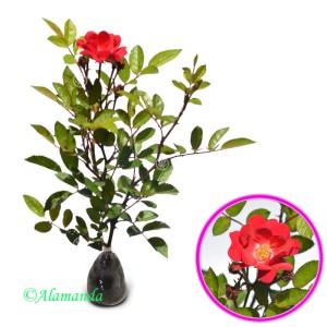 Tanaman Mawar Merambat Merah