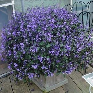 Tanaman Mona Lavender