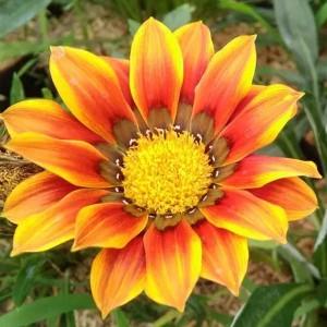 Tanaman Oranye Blooming