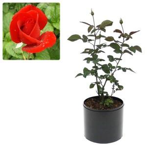 Tanaman Mawar Merah