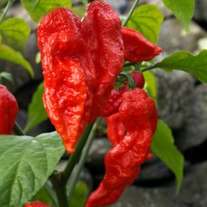 Benih Cabe Bhut Jolokia Merah / Red Bhut Jolokia Pepper (Import)
