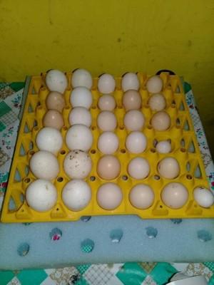 Telur Ayam Cemani Lidah Hitam