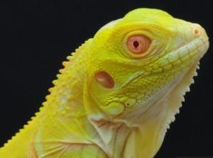 Baby Iguana Albino Murah