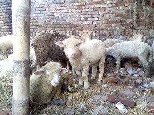 71+ Gambar Lucu Qurban Shaun The Sheep Terlihat Keren