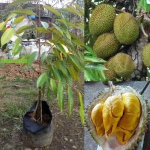 Tanaman Durian Musangking Kaki 3