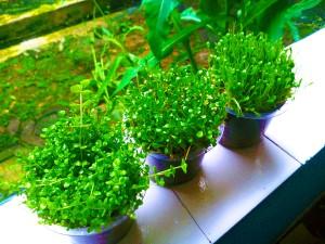 Glosso - Glossostigma Elatinoides - Tanaman Air - Aquascape