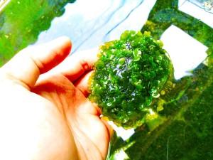 Moss Pelia Batu