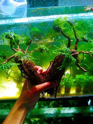 Akar Pohon Bonsai Plus Moss Peacock - Aquascape Tanaman Air