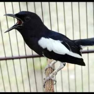 Jual Burung Kacer Bakalan Kab Sidoarjo Yn Bird Shop Tokopedia