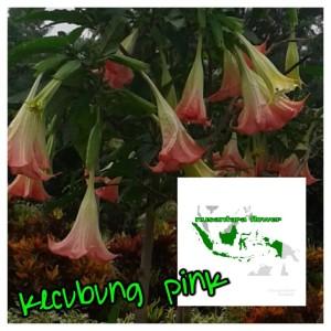Jual Bibit Bunga Terompet Warna Pink Kota Batu Nusantara Flower Tokopedia