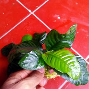 Anubias Coffefolia Tanaman Air Aquascape