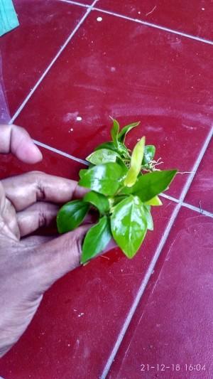 Anubias Golden tanaman air aquascape