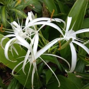 Jual Tanaman Bunga Bakung Bangkok Kota Batu Bb Plant Tokopedia