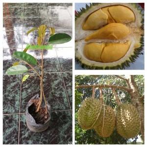 Tanaman Durian Bawor 3 Kaki