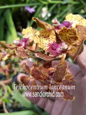 Trichocentrum Lanceanum (spike / knop / berbunga)
