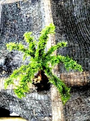 Bonsai Moss Kelapa Aquascape High Quality