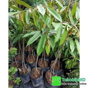 Tanaman Durian Duri Hitam Kaki 3 - Tinggi 1 Meter