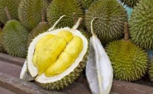 Bibit Buah Durian Monthong - Tinggi 1 Meter