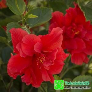 Tanaman Hias Hibiscus Merah Tumpuk
