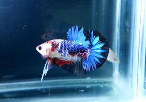Foto Produk Ikan Cupang HMPK Koi Blue Sapphire dari Cupangbettaid