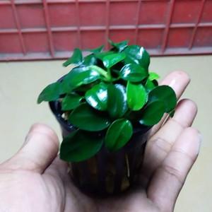 Anubias Petite / Petit Pot