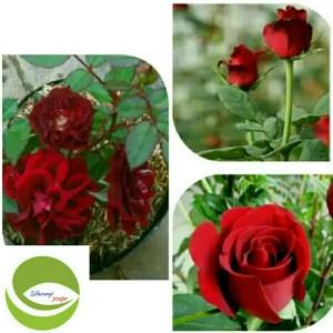 Jual Tanaman Bunga Mawar Merah Pohon Bunga Mawar Merah Kembang Rose Kab Bogor Siliwangiscape Tokopedia