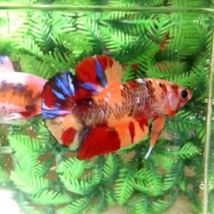 Jual Ikan Cupang Candy Multicolor - Kota Tangerang ...