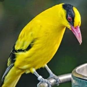 Jual Kepodang Emas Bali Bogor Barat Bandar Burung Lolohan Tokopedia