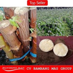 Bibit Singkong Kuning Mentega 1 Kg