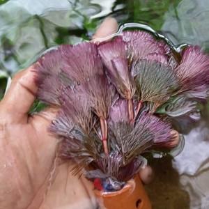 Cabomba caroliniana - kabomba merah - tanaman aquascape