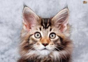 Penyembuhan Kutu Dan Jamur Kucing Alami