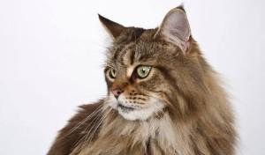 Penyembuhan Bulu Rontok Kucing Natural