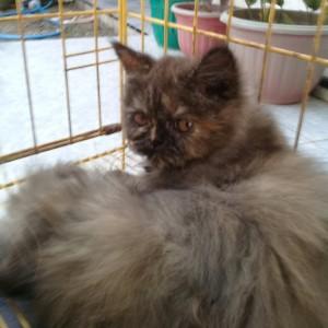 Jual Hewan Peliharaan Kucing Kab Jember Toko Basmalah1 Tokopedia