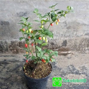 Tanaman Cabe Cherry