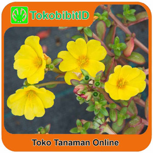 Tanaman Hias Portulaca Kuning / Moss Rose