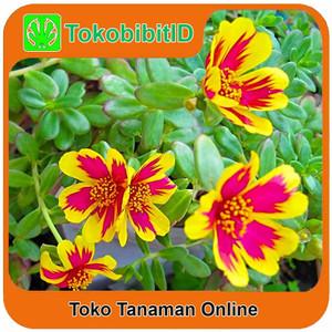 Tanaman Hias Portulaca Colorblast / Moss rose