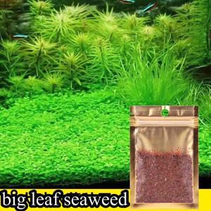 Carpet Seed Big Leaf Seaweed Grass Tanaman Aquascape