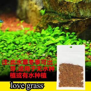 Love Grass Carpet Seed - Tanaman Aquascape - Foreground Tanaman Karpet